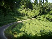 Organic Tea Farm Japanese Green Tea Hibiki An