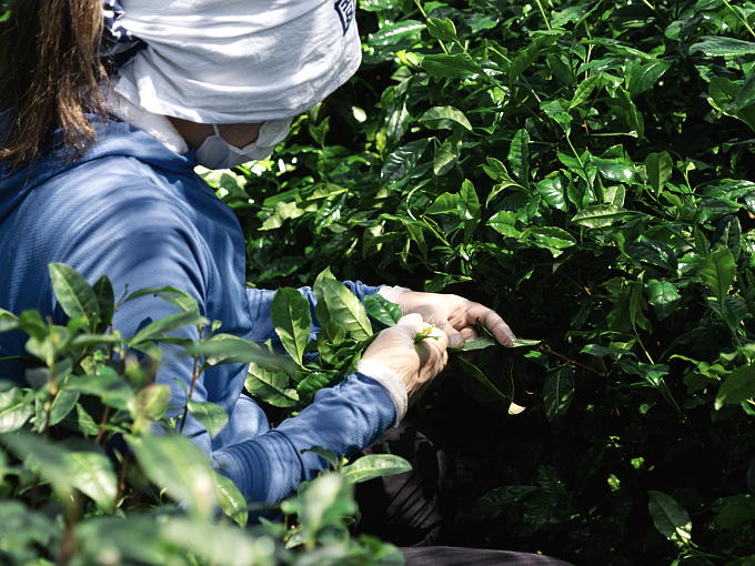 Shaded from sunlight by the canopy called 'Tana' which is the superior way to shade tea. 'Tana' requires much time and effort, and is also expensive.