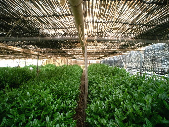 The traditional canopy used to shade tea plants from sunlight known as HONZU is unique and different from others. They are also important factors in creating the noble flavor and sweetness of the highest grade enriched Matcha.