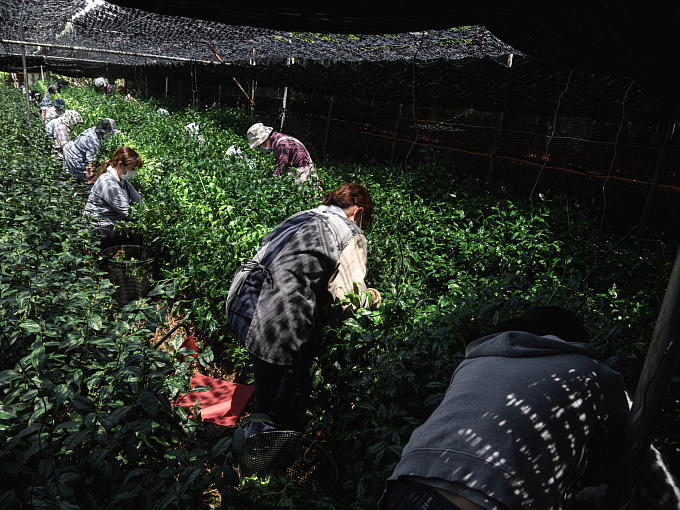 For this Kuradashi Matcha Super Premium, tea leaves just after harvest, are steamed and dried in a special fire pit. This picture is hand picking harvest scene. Tea sprouts are brought in processing factory.