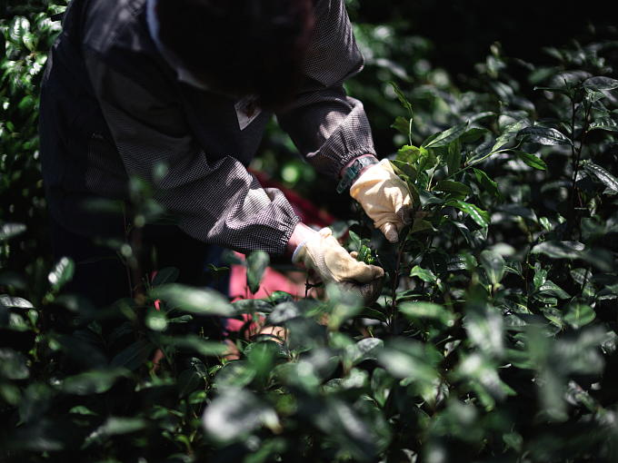 Shaded from sunlight by the canopy called 'Tana' which is the superior way to shade tea. 'Tana' requires much time and effort, and is also expensive. Specially hand-picked. Hand-picked tea has an especially smooth and mellow taste. We age and enrich our Kuradashi Matcha in the traditional way.