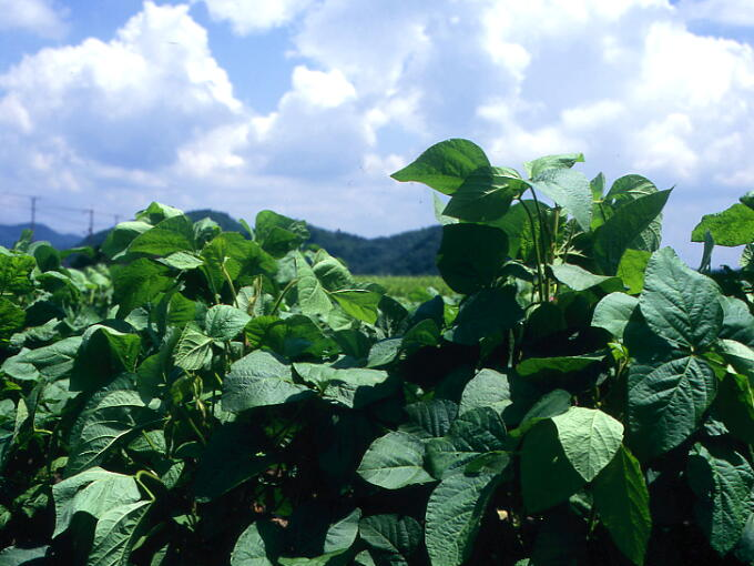 KUROMAME black soybeans farm