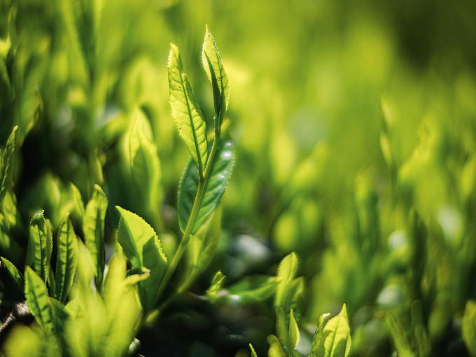 This tea is grown at Yuyadani in Ujitawara, known for producing highest grade Sencha. Yuyadani is situated in mountain ravines and has mineral-rich soil, ideal for growing tea.
