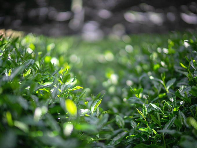Gokoh breed is known for its smooth and mellow taste. Gokoh tea leaves make excellent Gyokuro.