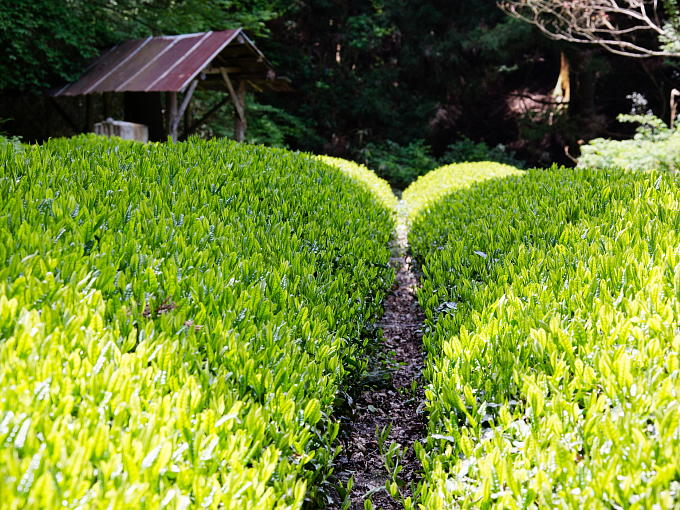 Yuyadani area where this tea grows is the birthplace of Uji tea and Sohen Nagatani who invented today's processing method of Japanese tea.